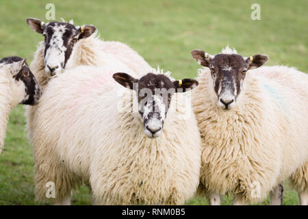 North of England or North Country Mule sheep cross bred between a lowland ram and a Swaledale ewe to produce hardy offspring with good wool and meat - Stock Photo