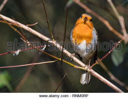 British (Melophilus) Adult European Robin Redbreast (Erithacus rubecula) perched on a twig in Winter (February) in West Sussex, England, UK. - Stock Photo