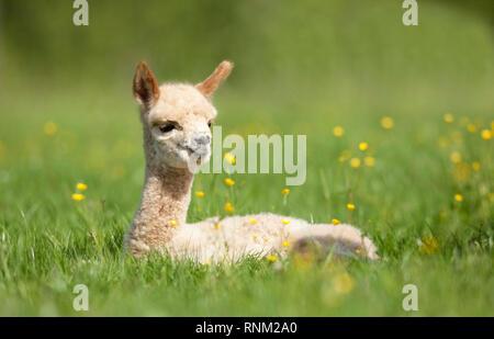 Alpaca (Vicugna pacos). Cria lying on a meadow. Germany - Stock Photo