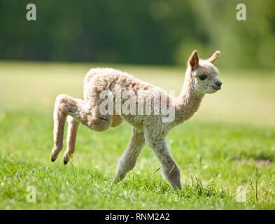 Alpaca (Vicugna pacos). Cria running on a meadow. Germany - Stock Photo