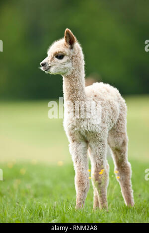 Alpaca (Vicugna pacos). Cria standing on a meadow. Germany - Stock Photo
