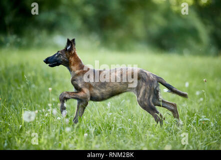 Barzoi, Russian Wolfhound. Juvenile running on a meadow. Germany. - Stock Photo