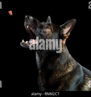 German Shepherd, Alsatian. Adult catching a treat. Studio picture against a black background. Germany - Stock Photo