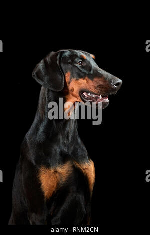 Doberman Pinscher. Portrait of adult dog against a black background. Germany - Stock Photo
