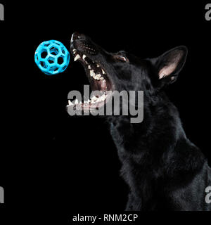 German Shepherd, Alsatian. Juvenile catching a ball. Studio picture against a black background. Germany - Stock Photo