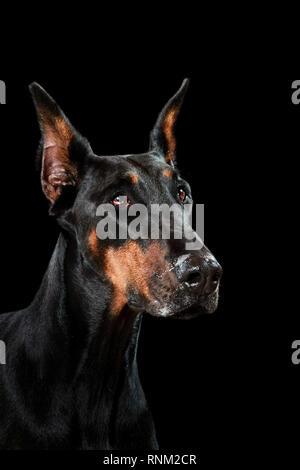 Doberman Pinscher. Portrait of adult dog against a black background. Germany - Stock Photo