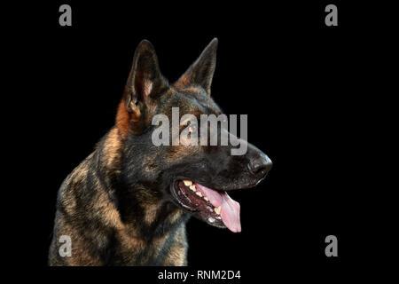 German Shepherd, Alsatian. Portrait of adult dog against a black background. Germany - Stock Photo