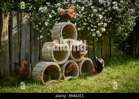 Welsummer Chicken. Chicken in a garden on plant containers, a quiet view place. Germany - Stock Photo