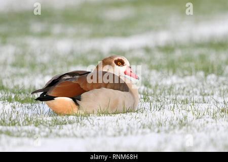 Egyptian Goose / Nilgans (Alopochen aegyptiacus) in winter, lying, resting on snow covered farmland, wildlife, Europe. - Stock Photo