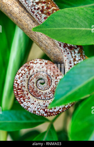 Tail of panther chameleon (male) - Furcifer pardalis - Stock Photo