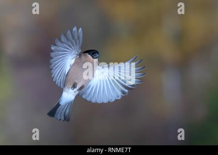 Eurasian bullfinch (Pyrrhula pyrrhula) Female in flight, North Rhine-Westphalia, Germany - Stock Photo