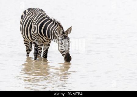 Common or Plains Zebra (Equus quagga) drinking water with reflection, Ngorongoro crater national park, Tanzania - Stock Photo