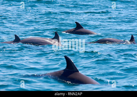 A group of several dolphins floating, jumping and diving in the blue sea with waves - Stock Photo