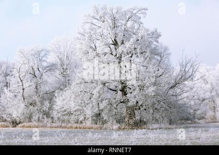 Winter in the Elbaue, Solitäreiche covered with hoar frost, Middle Elbe Biosphere Reserve, Saxony-Anhalt, Germany - Stock Photo