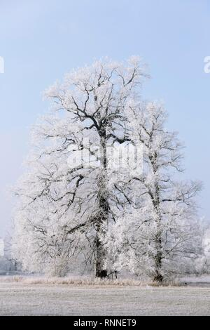 Winter in the Elbaue, Oaks covered with hoar frost, Middle Elbe Biosphere Reserve, Saxony-Anhalt, Germany - Stock Photo