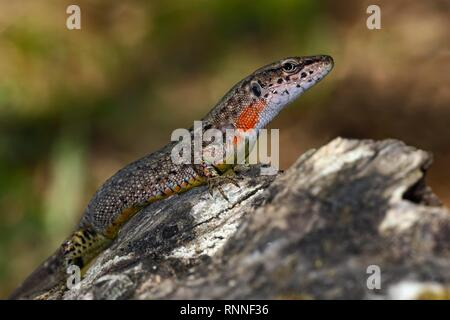Blue-throated keeled lizard (Algyroides nigropunctatus), females, Corfu, Greece - Stock Photo