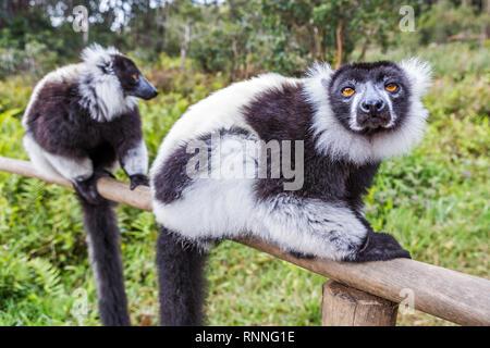 Black and White Ruffed Lemur, Varecia variegata variegata, Lemur Island, Mantandia National Park, Madagascar - Stock Photo