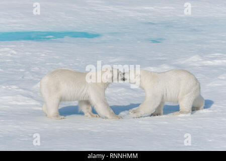 Two young wild polar bear cubs playing on pack ice in Arctic sea, north of Svalbard - Stock Photo