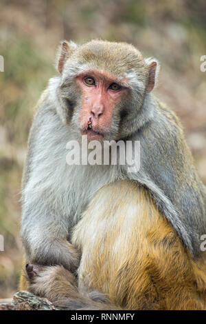 Rhesus Macaque (Macaca mulatta). Adult monkey. Showing recovering facial wounds and scars after fighting with others. - Stock Photo