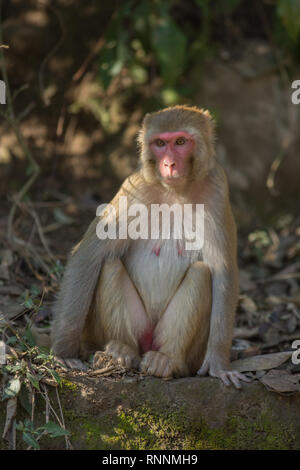 Rhesus Macaque (Macaca mulatta). Adult female, sitting on the ground. Northern India. - Stock Photo