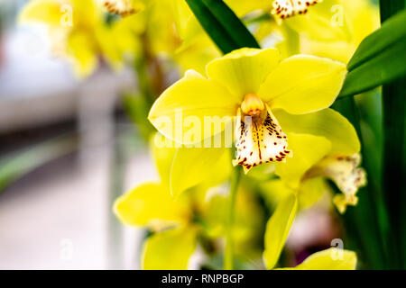 Bloom of yellow Cymbidium orchid. - Stock Photo
