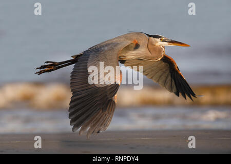 Great Blue Heron (Ardea herodias) flying over a barrier island beach - Jekyll Island, Georgia - Stock Photo