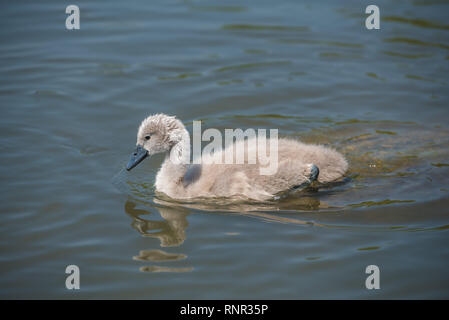 Cygnet taking a swim in the water - Stock Photo