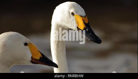 Pair of Bewicks swans (Cygnus columbianus bewickii) February 2019, Gloucestershire, UK - Stock Photo