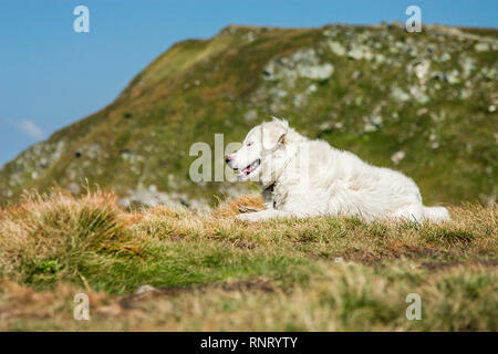 Shepherd dog. Panoramic view of the rocky mountains of the Carpathians, Ukraine. Beautiful view of the Montenegrin ridge. - Stock Photo