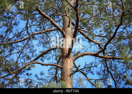The trunk of a tall pine against the blue sky - Stock Photo