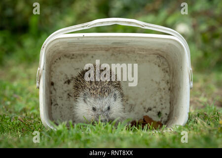 Portrait of a hedgehog hiding in a white box in a green meadow in autumn - Stock Photo