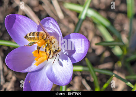 One of the first bees in the year can be seen on one of the first crocuses of the year, whose flowers glow in the sunlight. - Stock Photo
