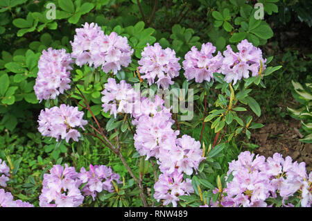 Rhododendron bush with delicate purple flowers and green leaves - Stock Photo