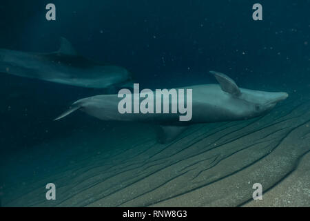 Dolphin swimming with divers in the Red Sea, Eilat Israel - Stock Photo