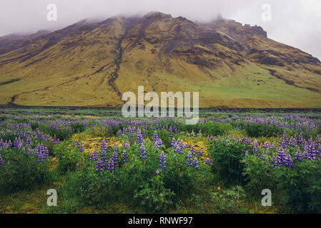 Nootka lupine flowers in Iceland - Stock Photo