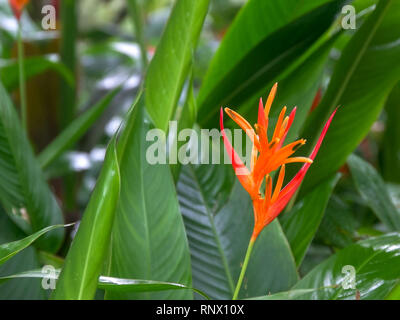 a heliconia psittacorum tropical flower on maui - Stock Photo