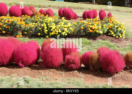 Summer Cypress - Broomweed - Bassia scoparia - Stock Photo