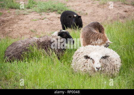 four sheep resting on green grass in spring. - Stock Photo