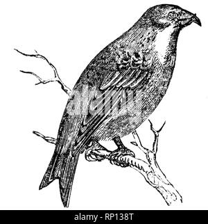 Wood cut engraved illustration, taken from 'The Treasury of Natural History' by Samuel Maunder, published 1848 - Stock Photo