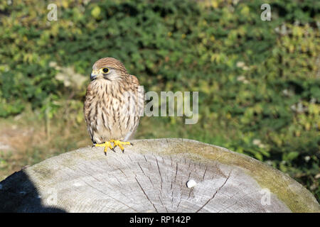 Portrait of the kestrel also known as common kestrel (Falco tinnunculus) sitting on tree trunk. - Stock Photo