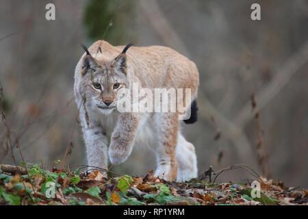 Female Eurasian Lynx (Lynx lynx), Estonia, Europe - Stock Photo