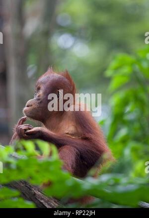 Cute thoughtful baby orangutan sitting in the green leaves and looking with interest. Orangutan portrait. Orangutan face. - Stock Photo