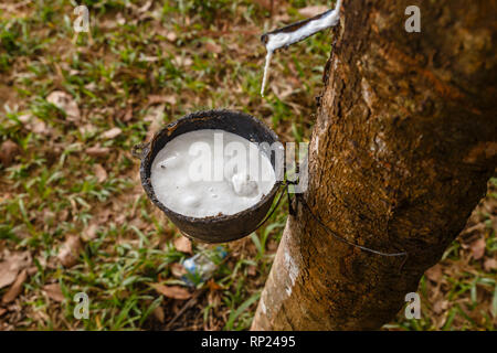 Rubber tree and cup of latex in the rubber plantation. - Stock Photo