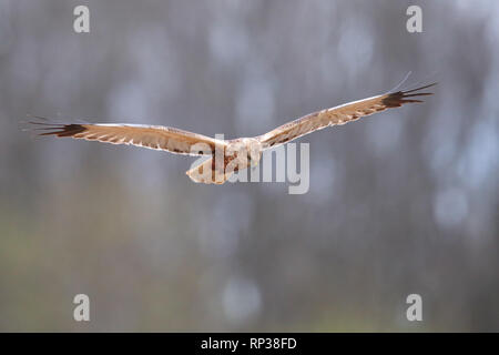 Hunting female Marsh Harrier (Circus aeruginosus). Europe - Stock Photo
