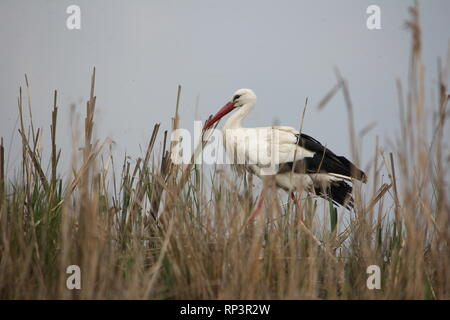 A White Stork (Ciconia ciconia) walking for prey in a wetland near Muenster, Germany. - Stock Photo