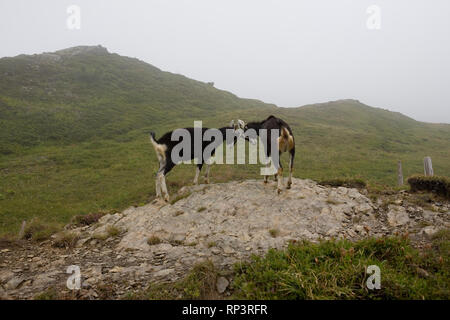 Two goats (Capra aegagrus hircus) horn-wrestling, near Kleine Scheidegg, Bernese Oberland, Switzerland - Stock Photo