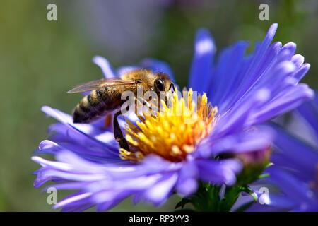 Honeybee (Apis mellifera) on a blossom, Honigbiene (Apis mellifera) auf einer Blüte - Stock Photo