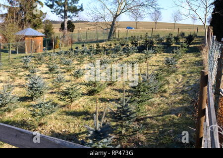 A Planting stock of pine trees - Stock Photo