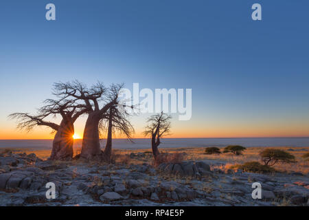 Baobab Trees on Kubu Island at sunrise - Stock Photo