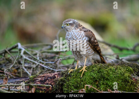 Young Sparrowhawk, Accipiter nisus, Dumfries & Galloway, Scotland - Stock Photo